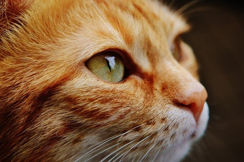 A Close-Up Shot of an Orange Cat