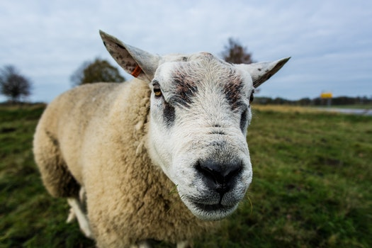 Close Up Photography of White Sheep
