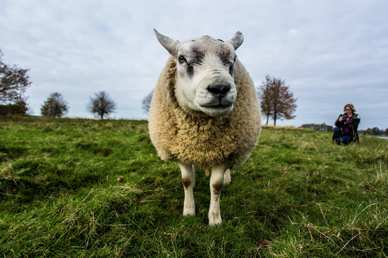 Beige Sheep on Green Grass Field Under Gray Sky