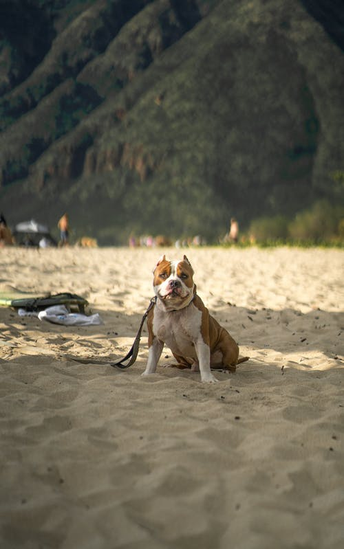 American Staffordshire Terrier dog in leash with white and brown fur sitting on sandy beach near green hills while looking at camera in sunny day