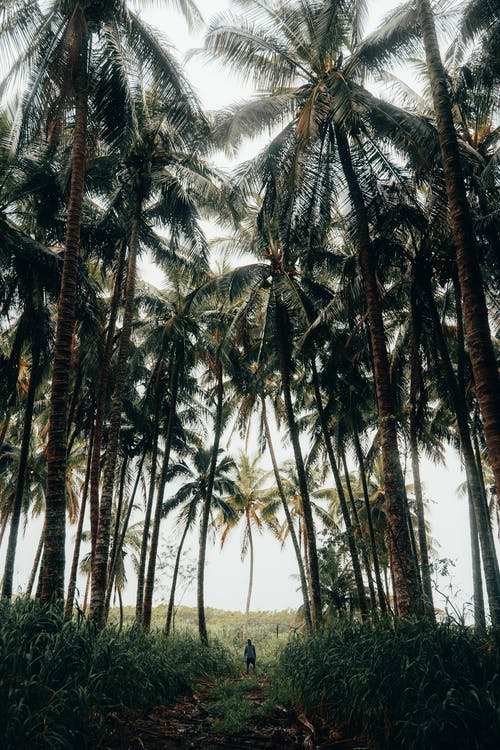 Free stock photo of beach, coconut, island