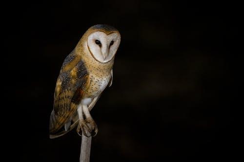 White Owl on Brown Stick