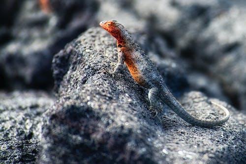 Black Lizard on Stone
