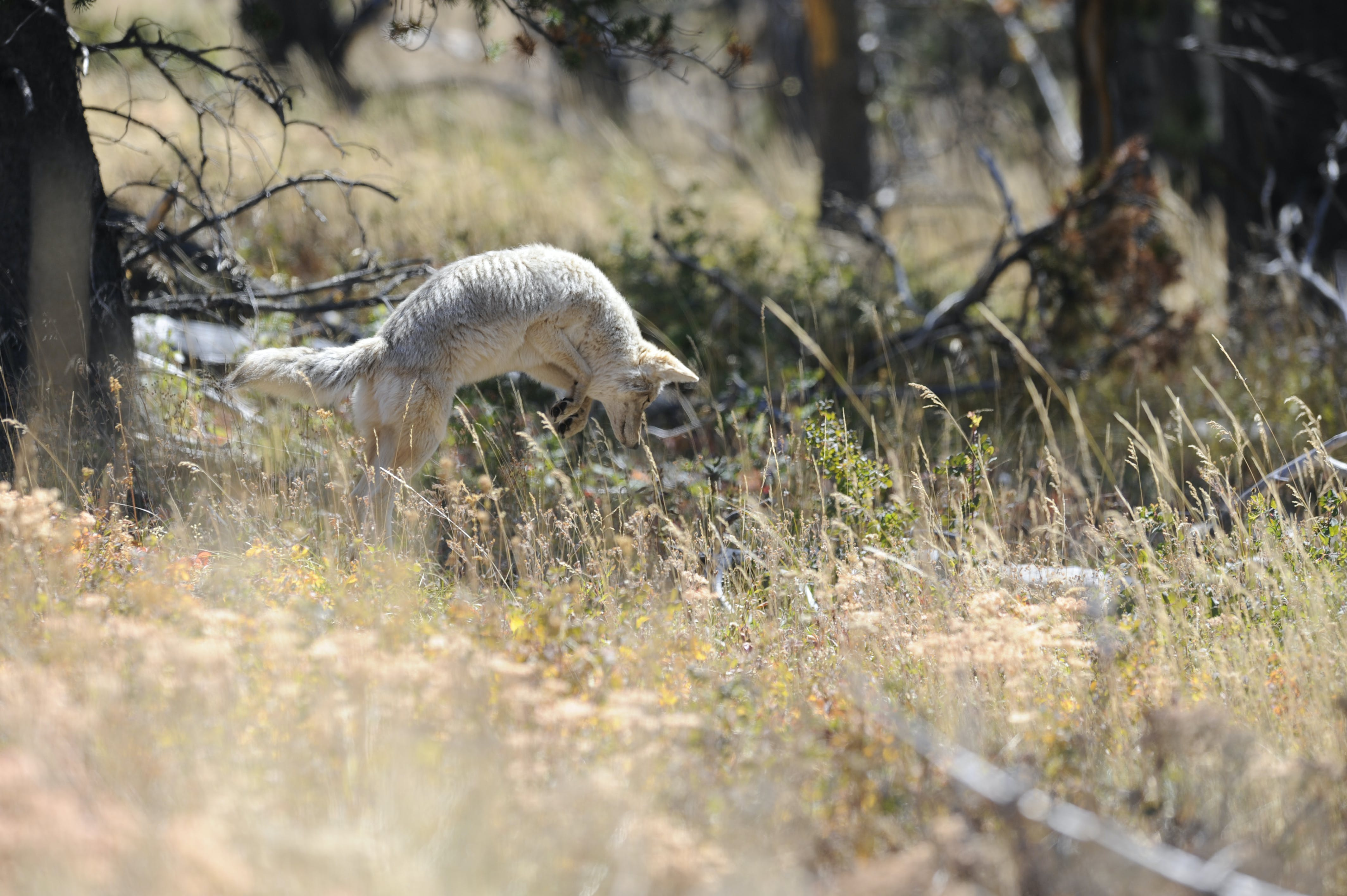 Free stock photo of Canis latrans, coyote, hunt, pounce