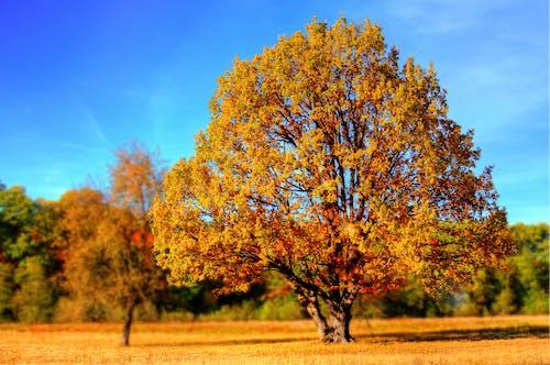 Ingyenes stockfotó aranysárga, ég, fák, kék témában