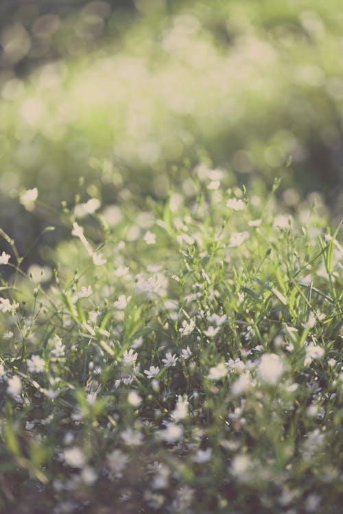 Foto d'estoc gratuïta de blanc, brillant, camp, camp de flors