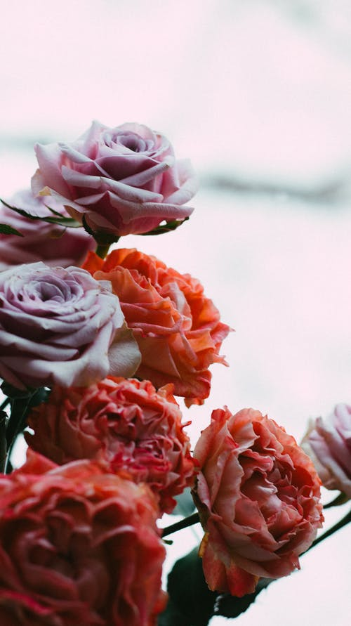 A Close-Up Shot of Rose Flowers