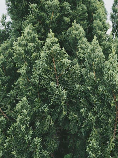 Photos gratuites de à feuilles persistantes, aiguille, arbre