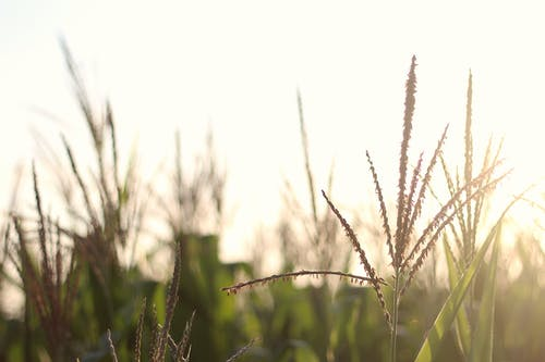 Free stock photo of agriculture, corn, crop