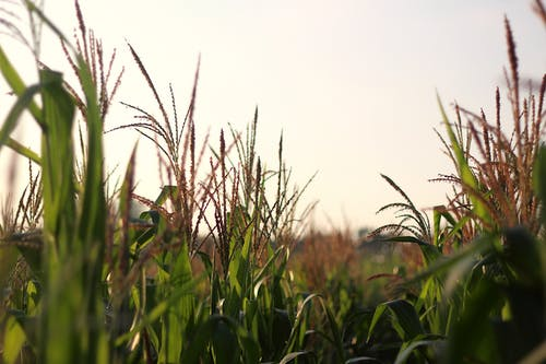 Free stock photo of agriculture, corn, corn field