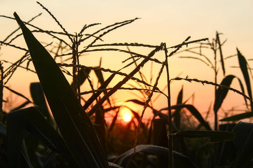 Free stock photo of agriculture, corn, farm
