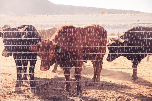Cattle Behind Wire Fence during Daytime