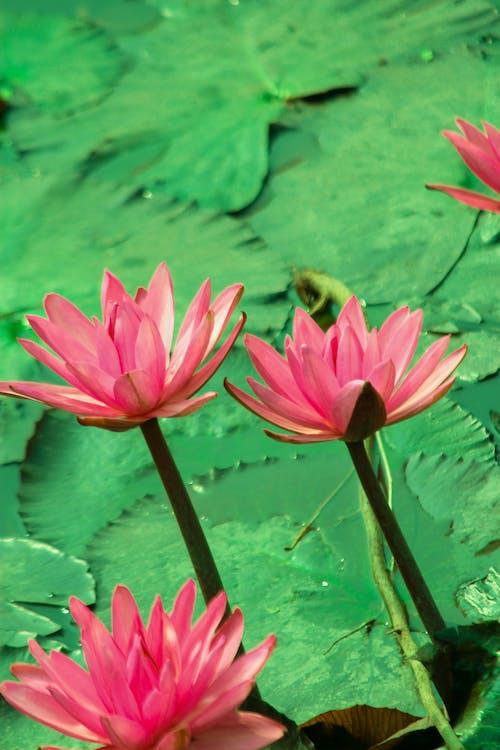 Close-Up Shot of Pink Lotus Flowers in Bloom