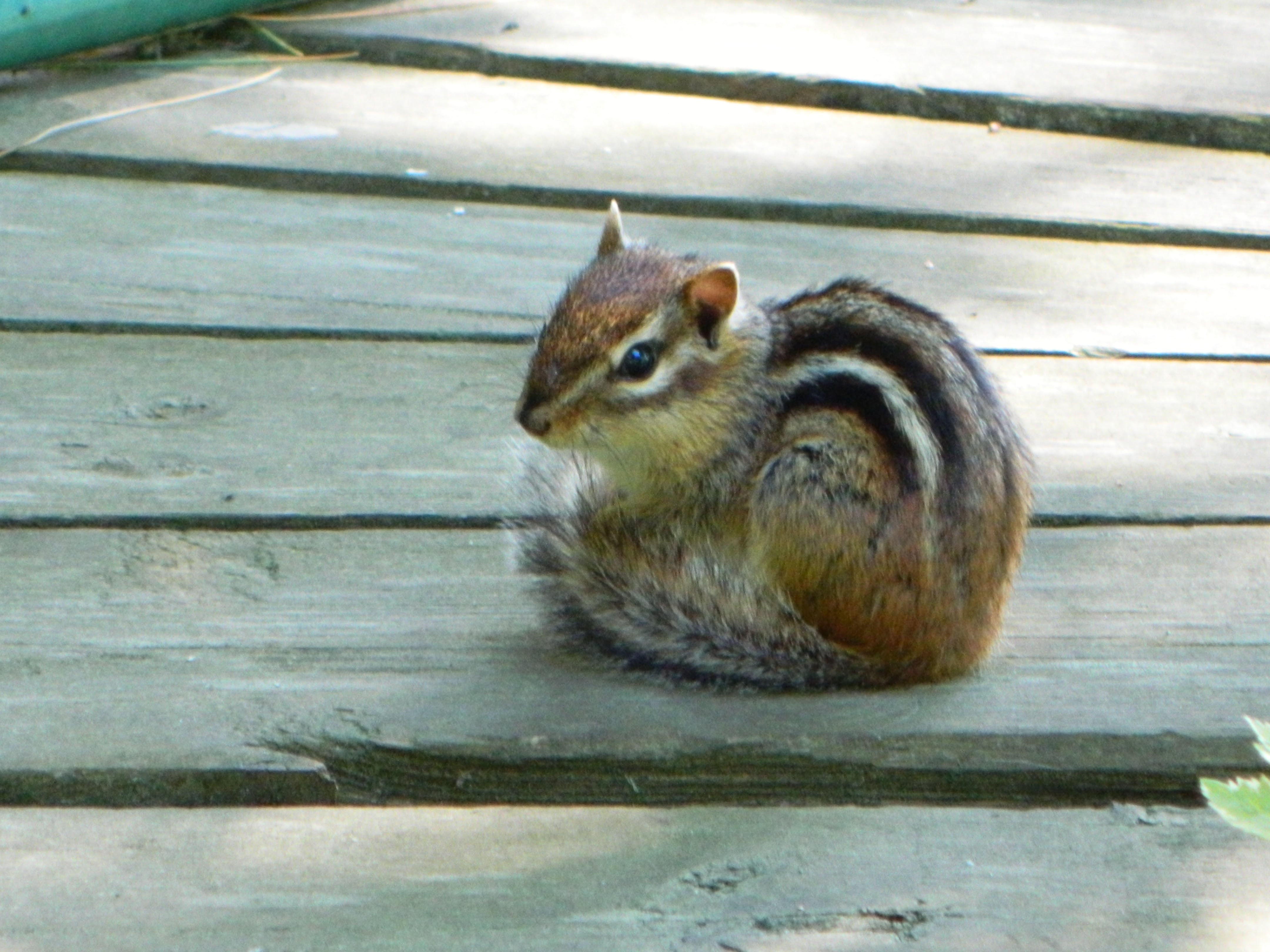 Free stock photo of chipmunk, cute, furry, nature