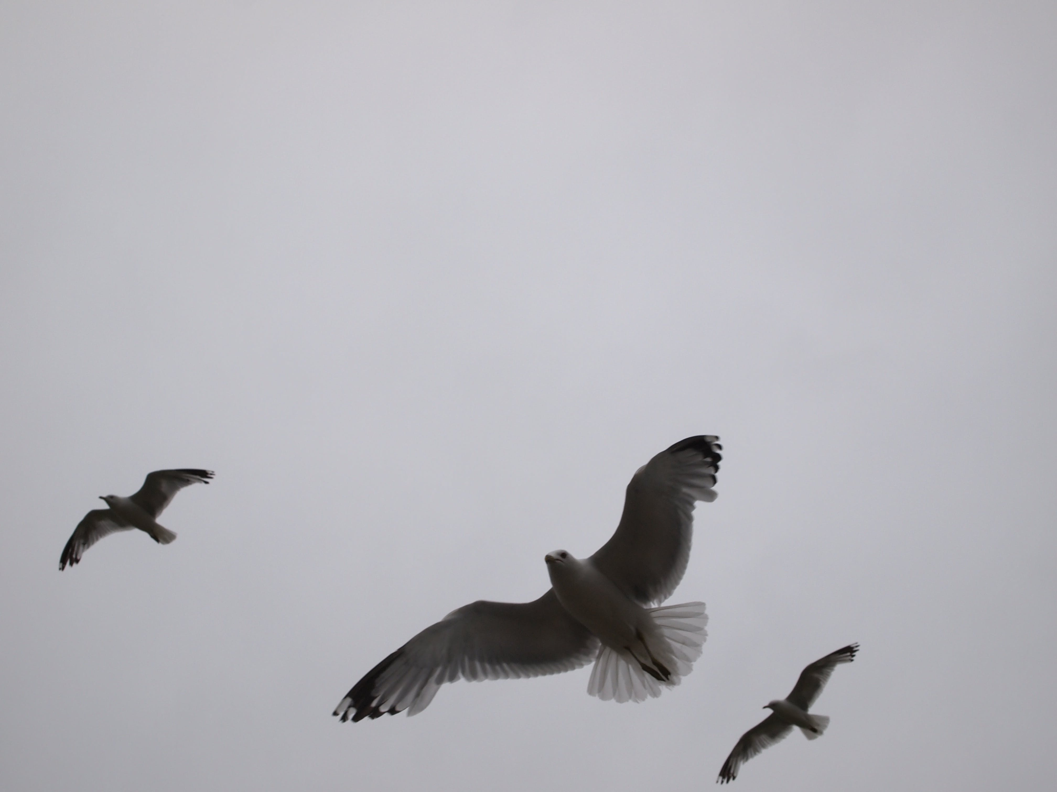 Free stock photo of flight, fly, flying, grey