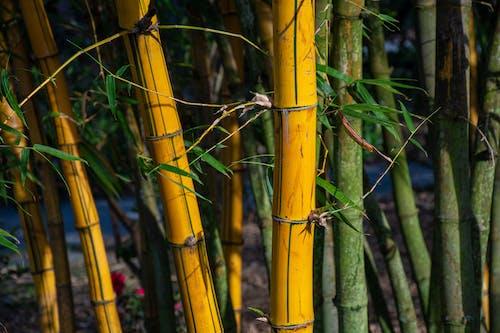 Photos gratuites de arbre, bambou, bâton