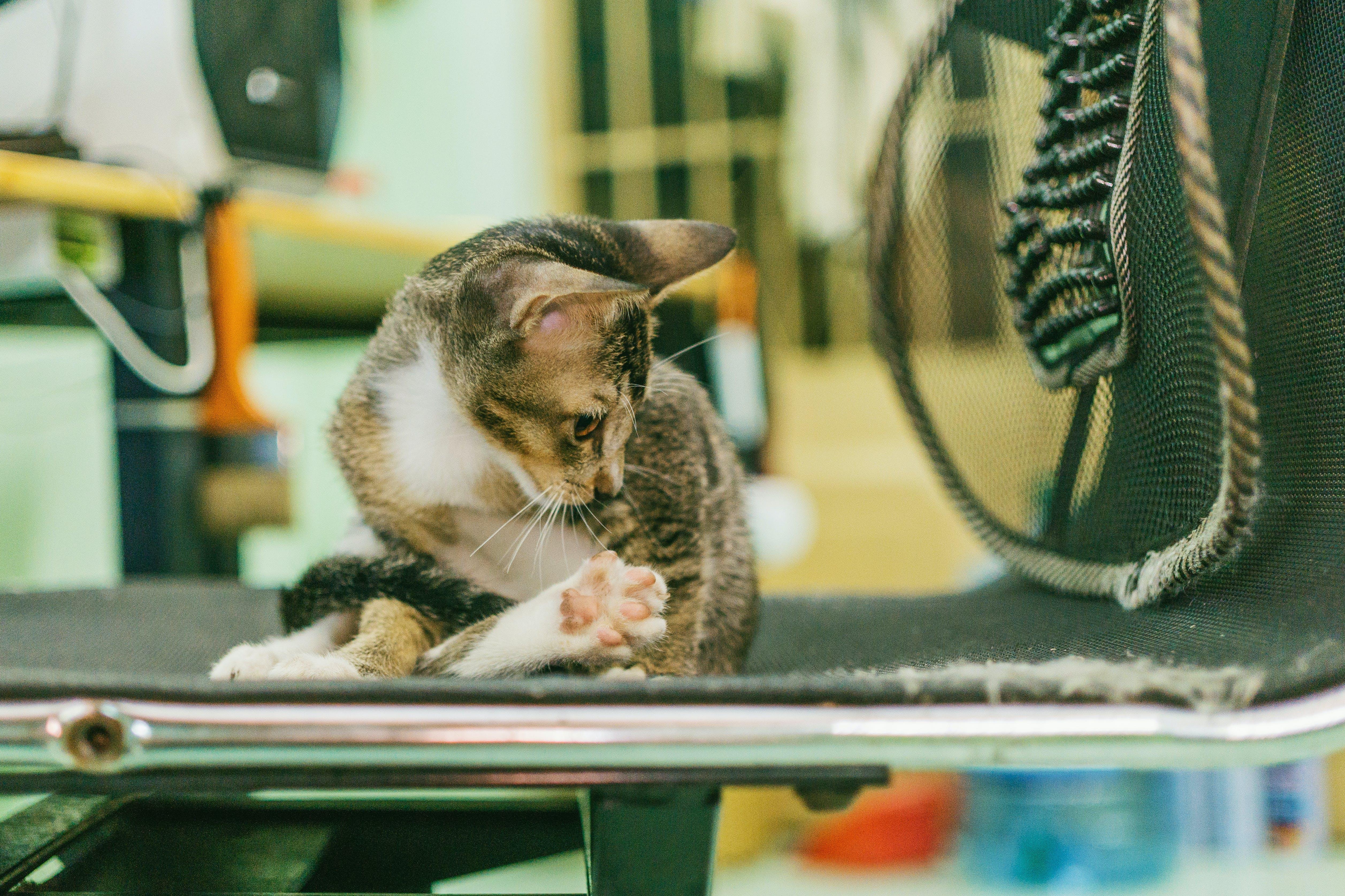 Gray Tabby Cat on Black Fabric Padded Seat