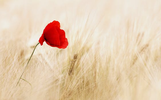 بستان ورد المصــــــــراوية - صفحة 4 Cereals-field-ripe-poppy-70741