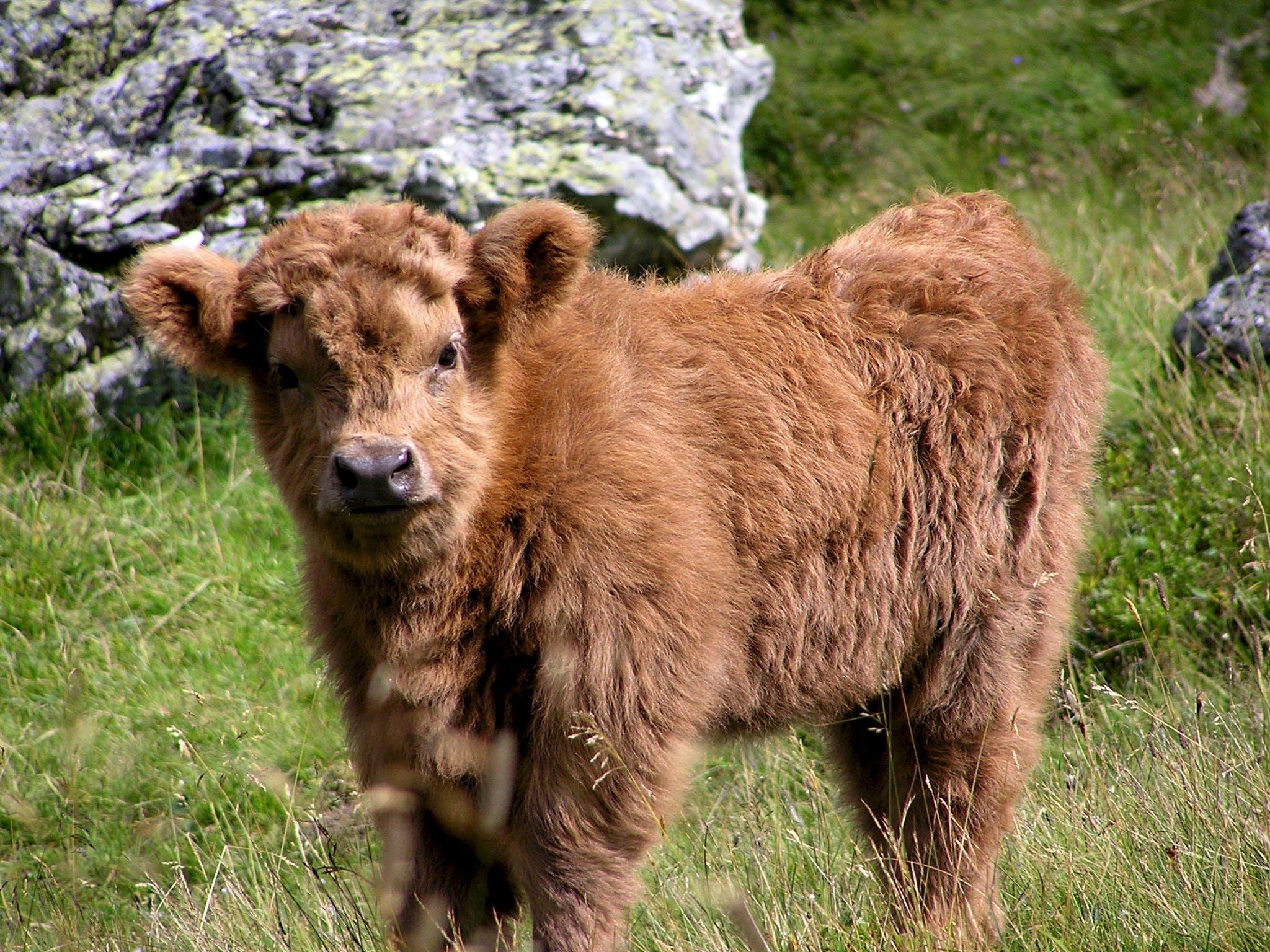 Brown Long Coat 4 Leg Animal on Green Grass during Daytime
