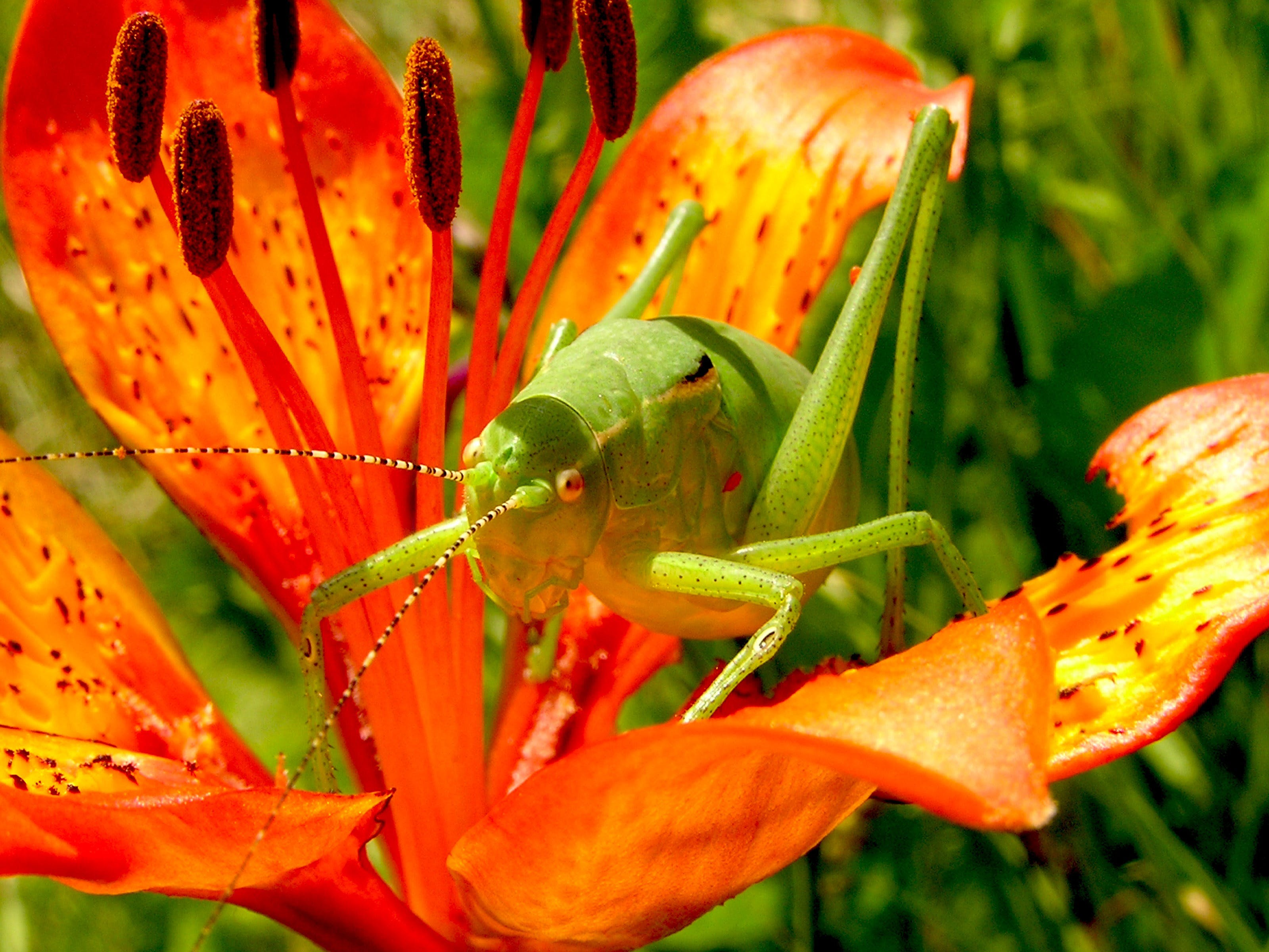 Green Grasshopper on Red 5 Petaled Flower