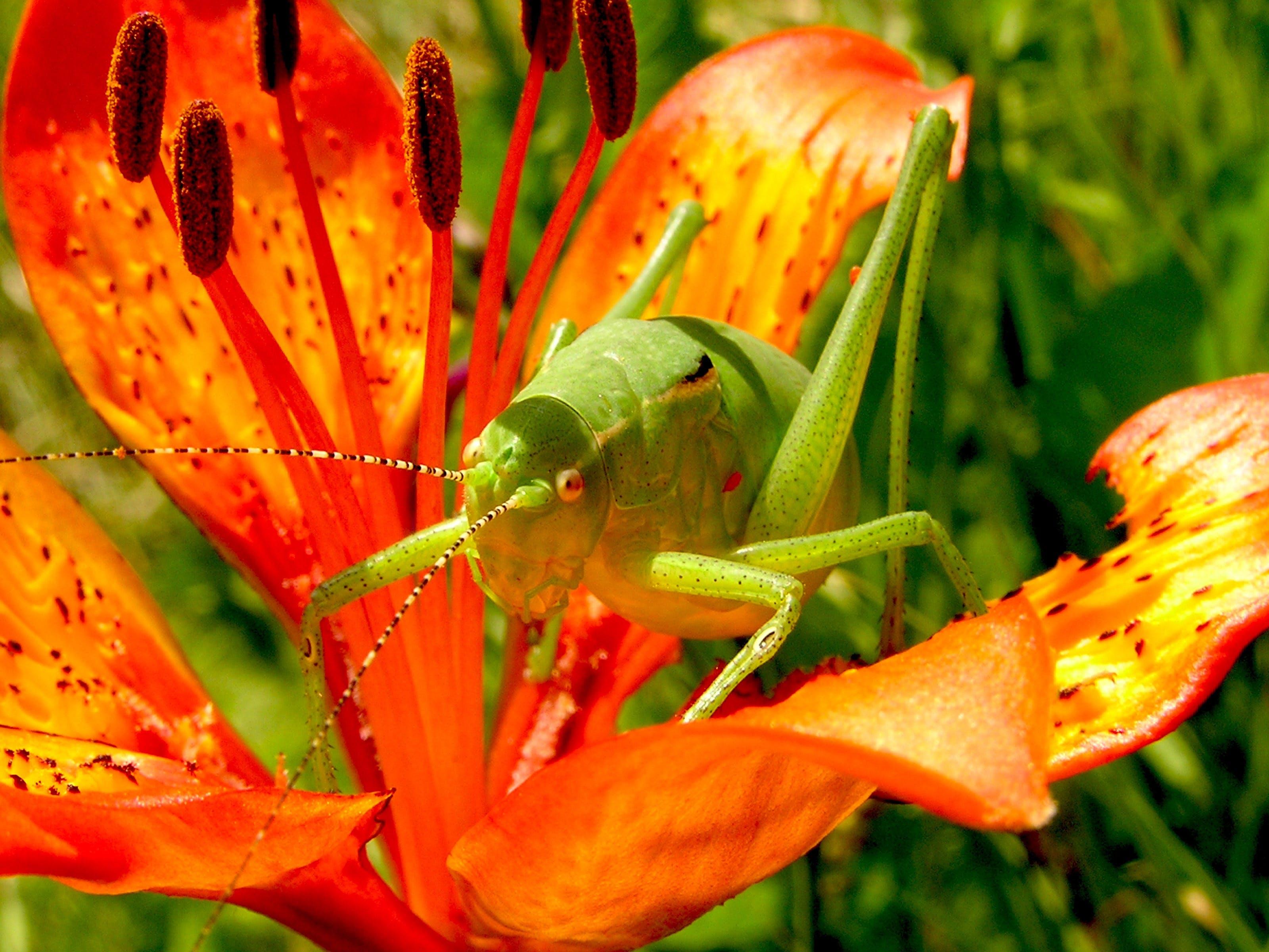 Green Grasshopper on Red 5 Petaled Flower