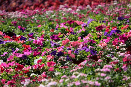 Pink, Purple, and White Impatiens Plant Field