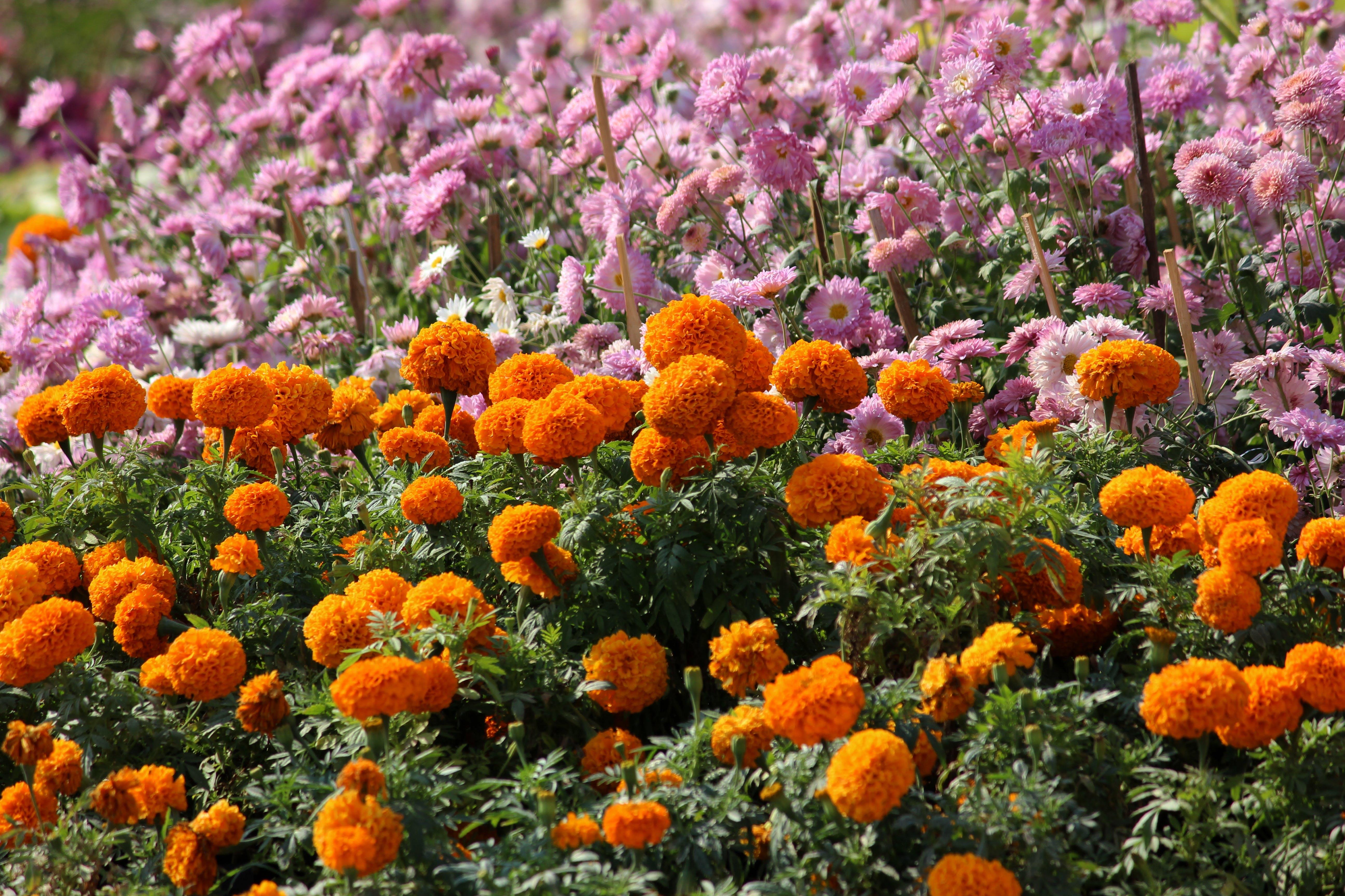 Orange and Pink Petaled Flowers