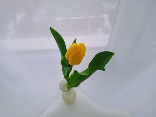 Blooming tulip with tender bud in vase on windowsill