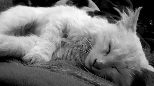 고양이, 블랙 앤 화이트, 수면의 무료 스톡 사진