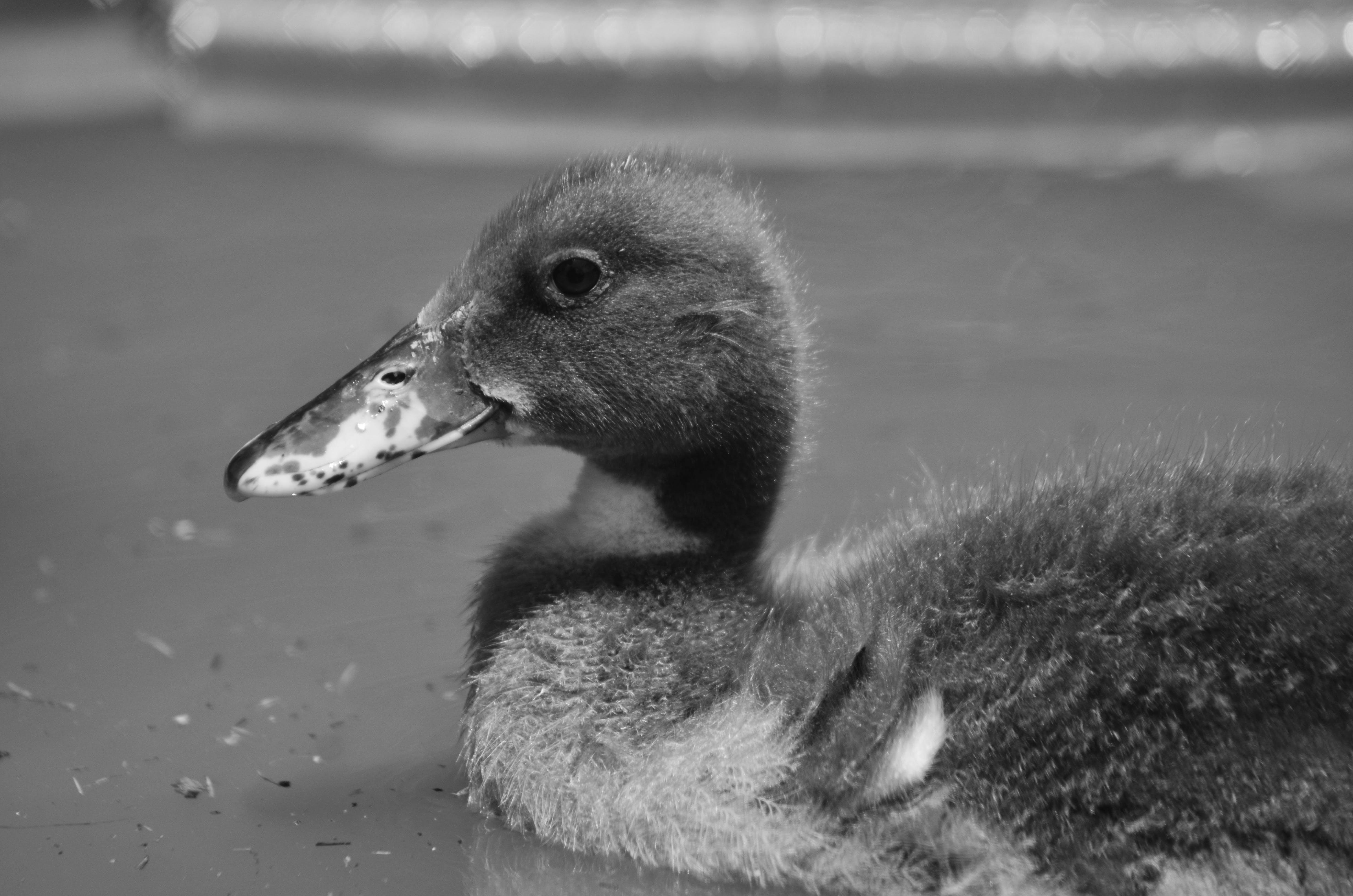 Foto stok gratis bebek di atas air, unggas