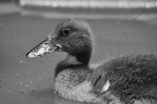 Základová fotografie zdarma na téma drůbež, kachna na vodě