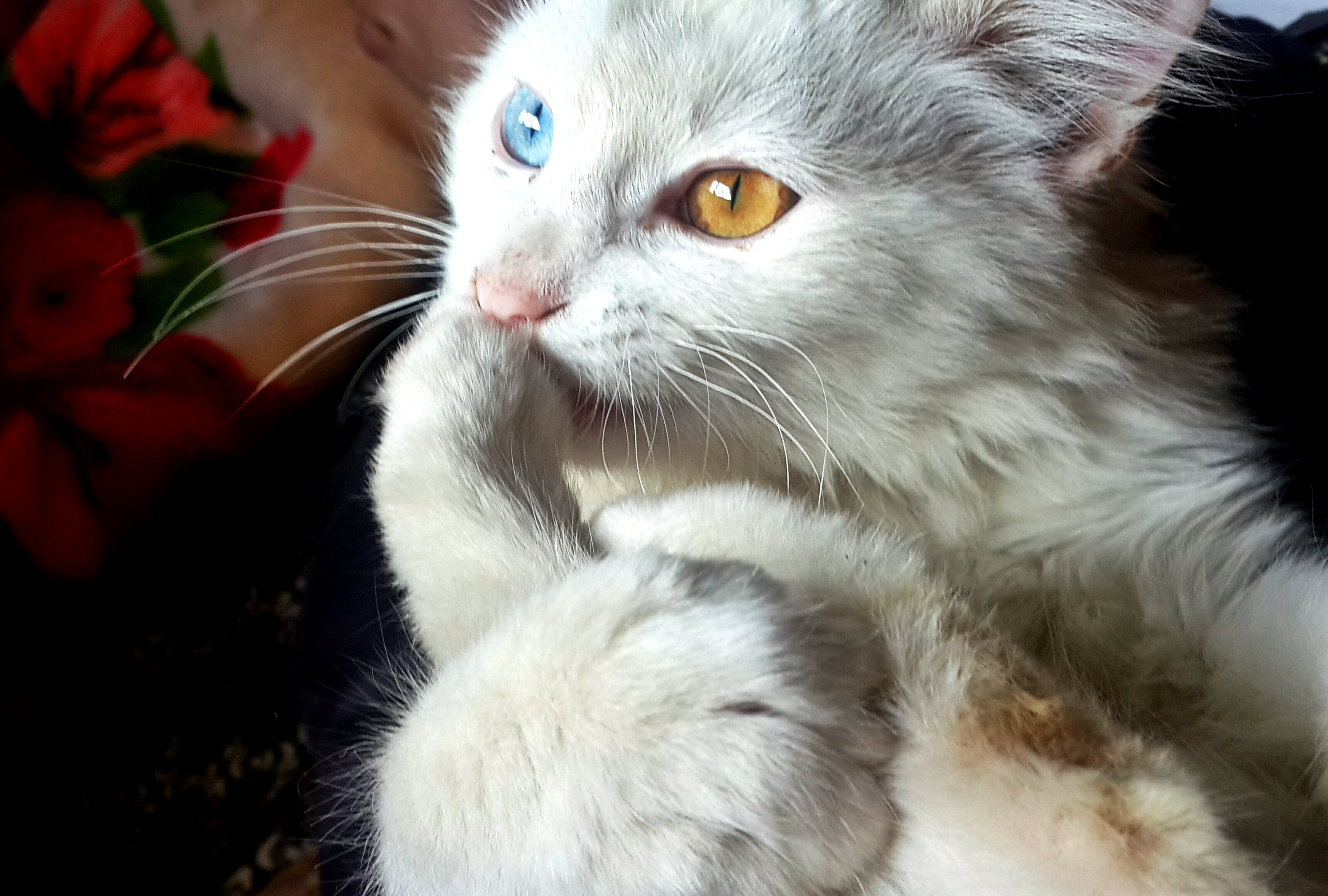 White Blue and Orange Eyed Cat