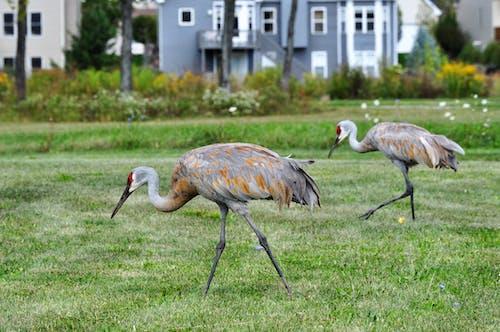 Sandhill Cranes on Grass