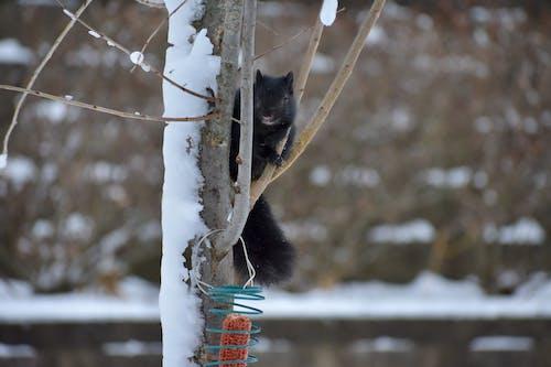 Free stock photo of black, black squirrel, squirrel