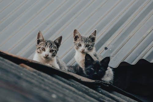 Безкоштовне стокове фото на тему «вуса, домашній, кішка»