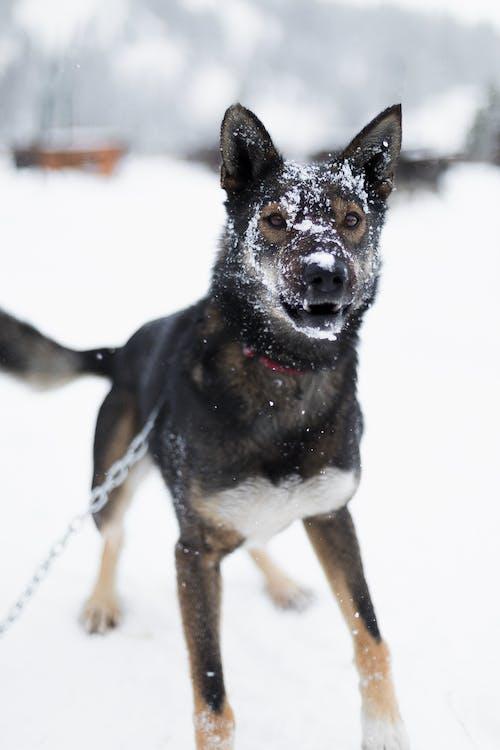 Black and Tan German Shepherd on Snow Covered Ground