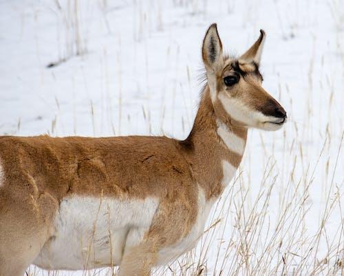 Brown Deer on Brown Grass