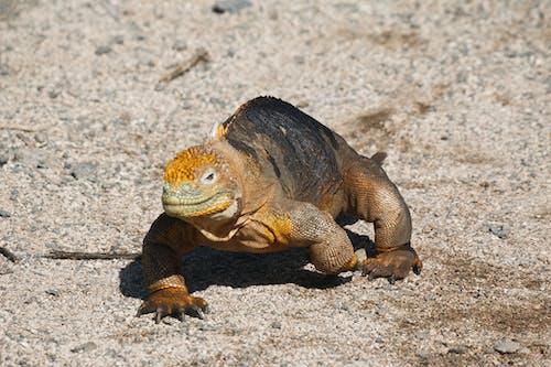 Iguana Crawling on Sand