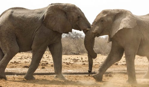 2 Gray Elephants Walking on Brown Dirt