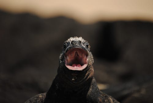 Black and Brown Bearded Dragon
