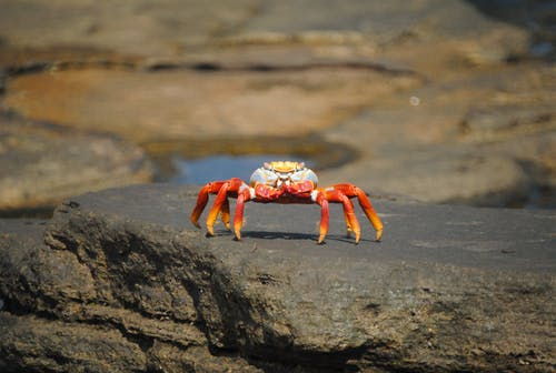Red Crab on Gray Rock