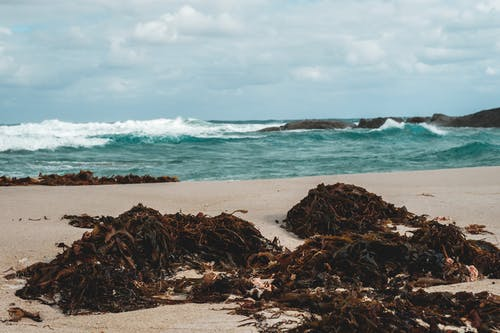 Decaying seaweeds on beach near waving sea