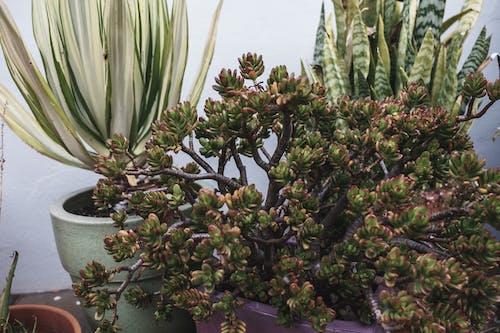 Lush fresh potted Sedum dendroideum succulent placed near Dracaena trifasciata and Agave plants on terrace