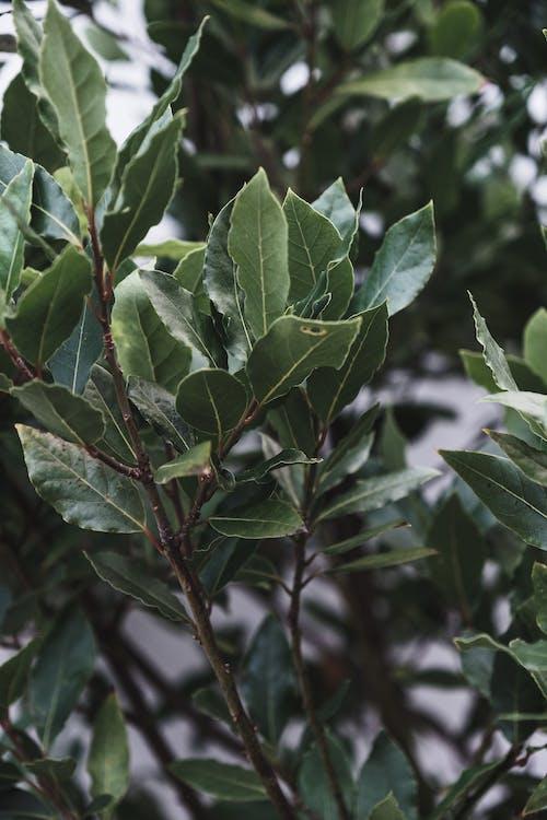 Lush leaves of evergreen Laurus nobilis tree growing in garden