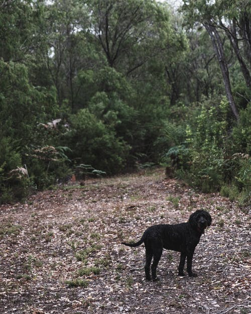 Adorable black dog standing on alley between lush green trees in forest and lookign at camera