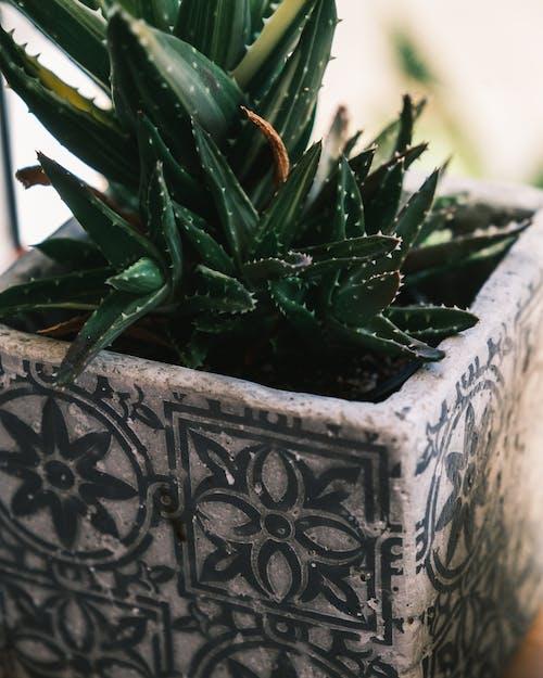 Aloe vera growing in pot