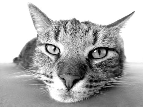 Brown Tabby Cat 183 Free Stock Photo