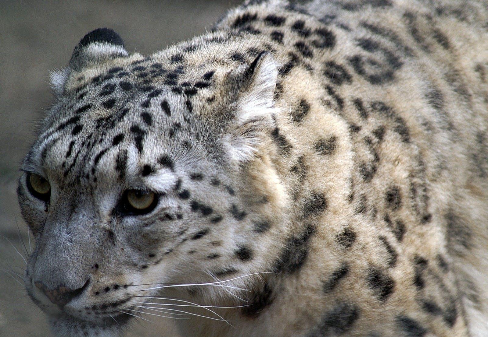 Free stock photo of animal, fur, cat, macro