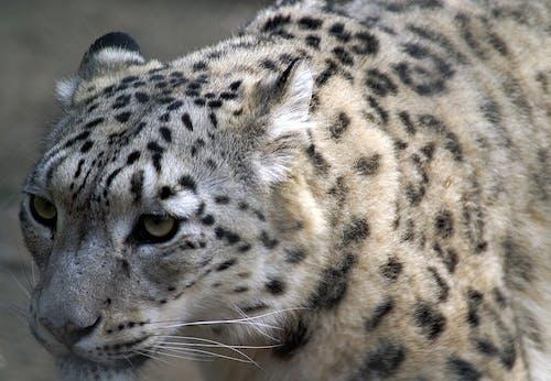 オンス, ジャガー, スポット, トラの無料の写真素材