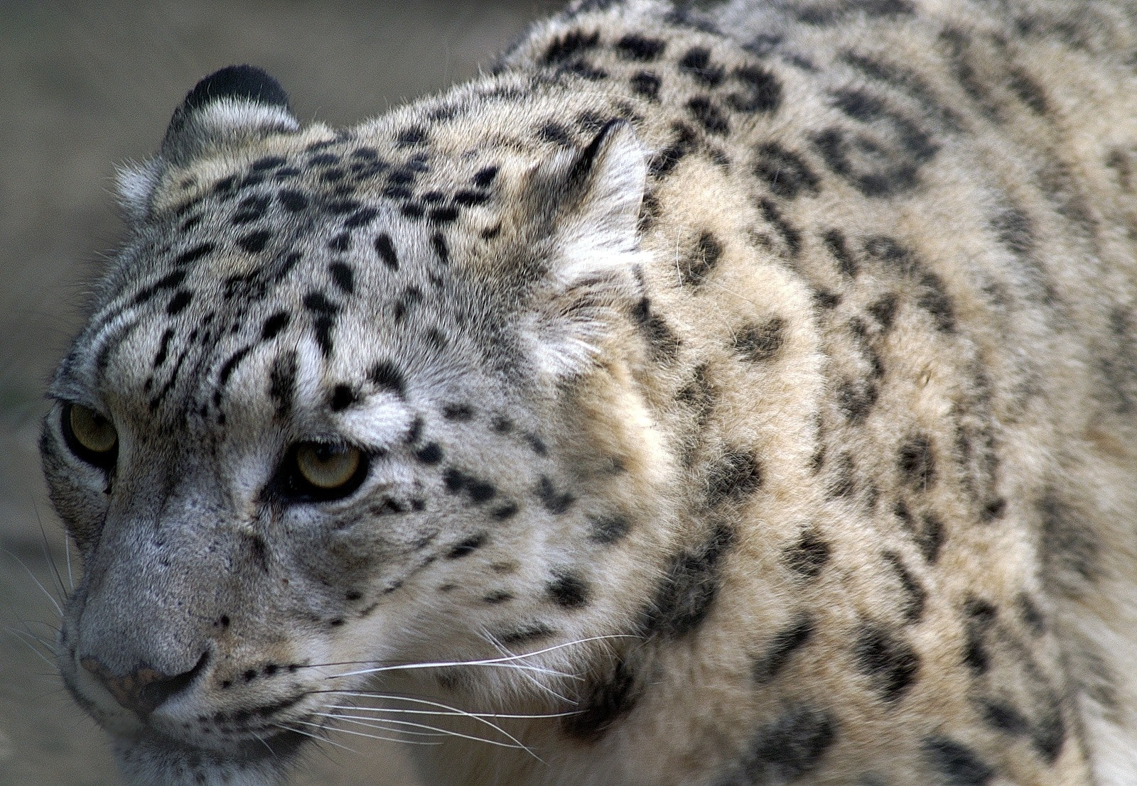 Can Search snow leopard porn You